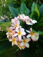 blom bal